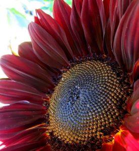 red-sunflower-rotate
